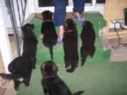 AKC Rec. German Shepard puppies