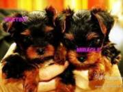 Extremely cute teacup yorkie puppies available for freee adoption