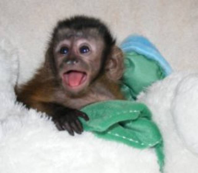 capuchin Monkeys Available For Sale - Chicago - Animal, Pet