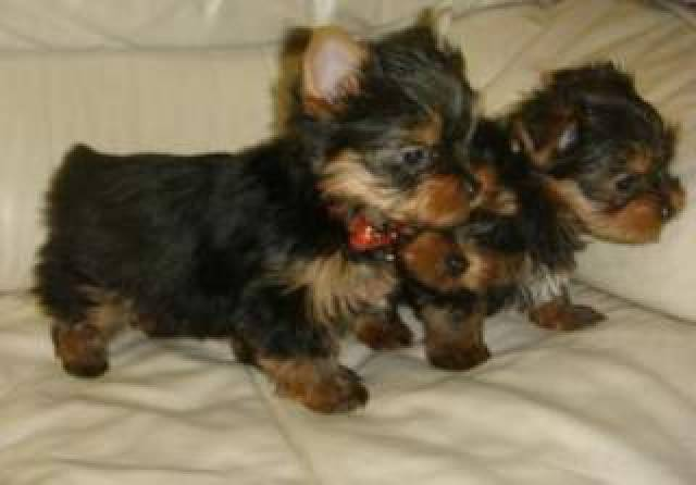 100% Party Teacup Size Yorkie Puppies For Adoption*(662 ...