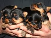 Two gorgeous Yorkie puppies for adoption,