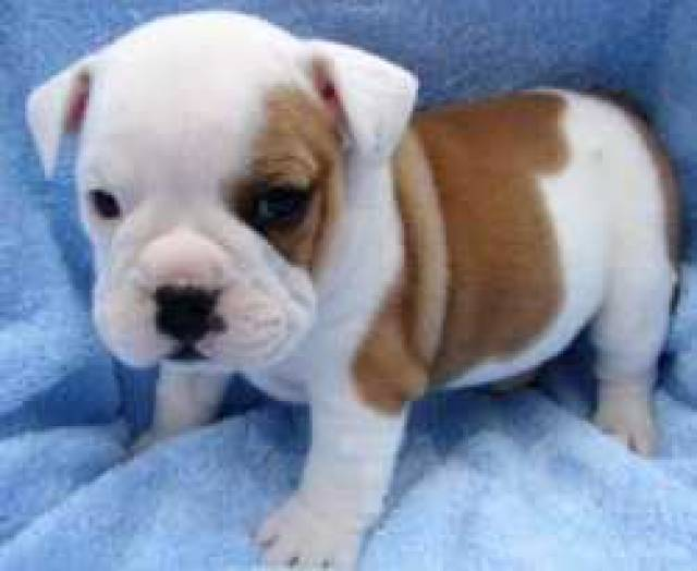 cute and adorable english bulldog puppies for adoption - Texas City