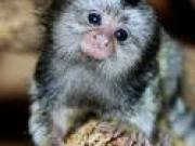 Looking for a new home for my lovely marmoset monkeys contact me now via text (240)528-3305