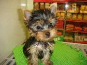 Teacup Yorkie Puppy for sell