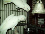 Bonded Pair of Goffin Cockatoos $600