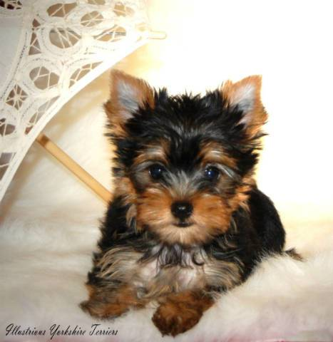 Yorkshire Terrier Puppies For Sale California City Los Angeles