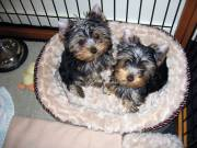 Akc Yorkie puppies for adoption(949) 328-7578