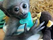 Free Capuchin monkey for adoption (primatestore427@gmail.com)
