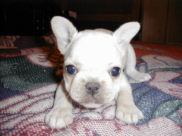 Cute And Adorable French Bulldog Puppies For Adoption Virginia