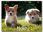 Home Raised pembroke corgi welsh puppies for sale