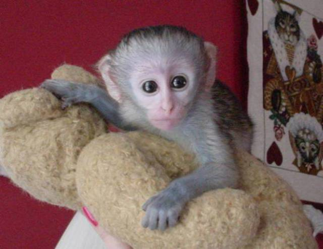 well trained baby capuchin monkeys for sale - Ohio City