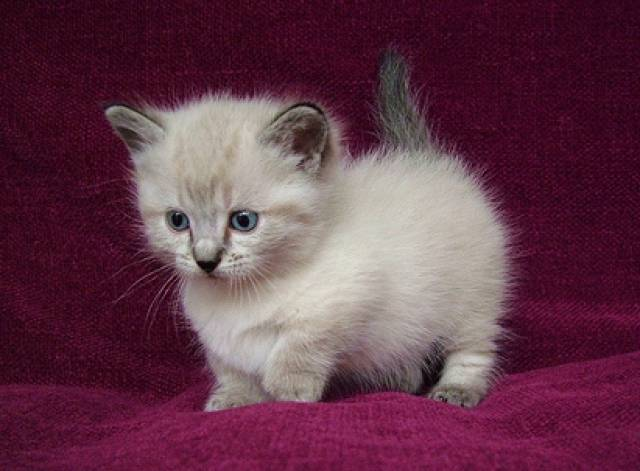 Healthy Male And Female Munchkins Kittens For Adoption