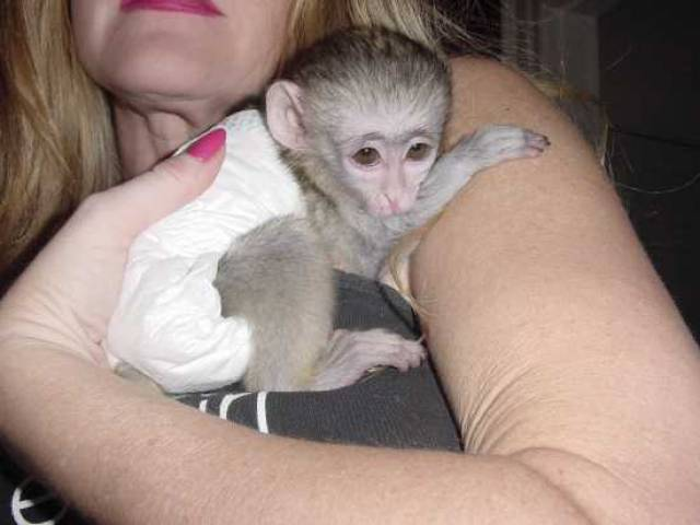 Cute and adorable baby capuchin monkeys for adoption ...