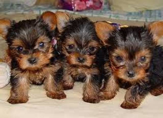 Healthy Teacup Yorkie Puppies For Adoption Text609 807 2598