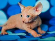 Hairless- Sphynx Kittens for new homes