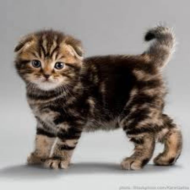 Adorable Scottish Fold Kittens For Sale - Seattle - Animal, Pet