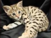 CFA Savanna Kittens avalaible now
