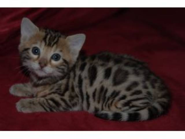 leopard cats for sale in parker