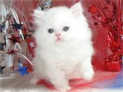 White Persian Kittens for caring homes