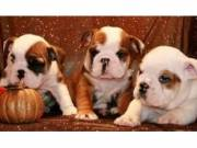 Text (406) 430-1582 11 weeks old.Great English Bulldog pup s