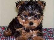 This is a gorgeous little cream yorky puppy. He has the