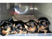 Pretty Yorkie Toy & T-Cup Yorkie Puppies Price 150