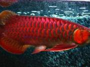 We supply live arowana fishes of all kinds, below is a list of some of our TEXT (301) 458-8940
