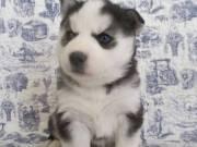 Champion Siberian Husky Puppies