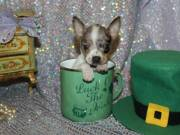 Blue Merle Chihuahua can be shipped from San Antonio Texas