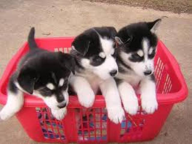 Healthy Siberian Husky Puppies For Sale Birmingham Alabama