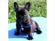 cute home french bulldog text at (510)999-4924