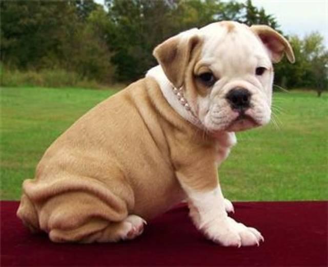 Gorgeous English Bulldog Puppies For Adoption Houston Animal Pet