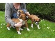 excellent boxer puppies for sale