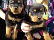 Four Rottweilers puppies 8weeks old ready to go now call (503) 506-7433 or email kethybrit5@gmail.co