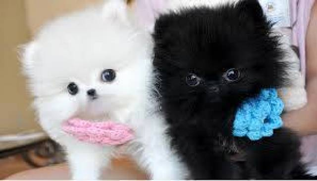 Amazing Pomeranian Puppies Akc Registered For New Homescall Or Text