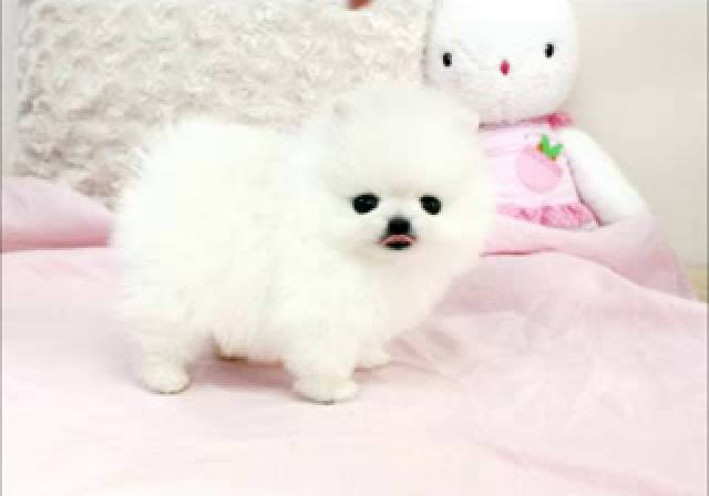 Amazing Pomeranian Puppies On Sale Contact 404 448 2772 Dallas
