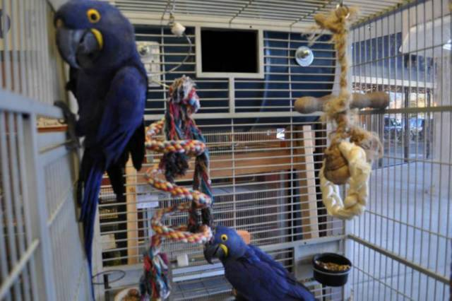 DNA Proven Breeding pair of hyacinth macaws Parrots For Sale