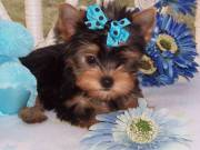 Sweet Baby Face T-cup Yorkie Puppies Available For adoption (817) 725-4785
