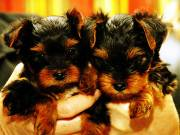 AKC Registered Male and Female Teacup Yorkie Puppies Available To Loving Homes