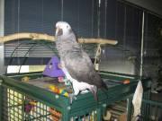 Congo African Grey Parrots