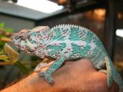 Nosy faly chameleon for sale ( sms-517 541-7258)