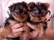 Top Quality Teacup Yorkie puppies ready for adoption