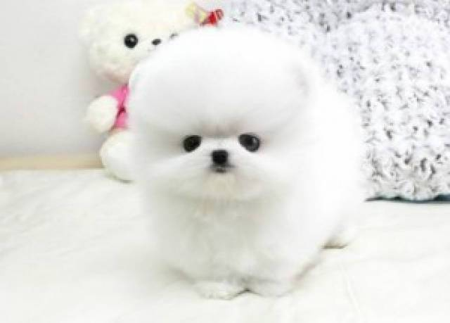 Awesome Teacup Pomeranian Puppies For Sale Text 701 660 2572