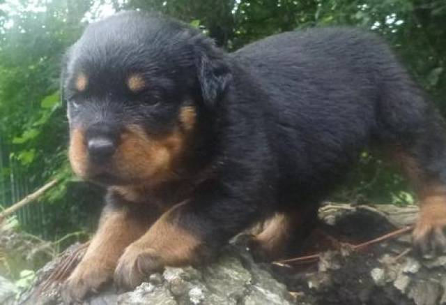 Rottweiler Puppies Ready To Go Good Home Florida City Lake City