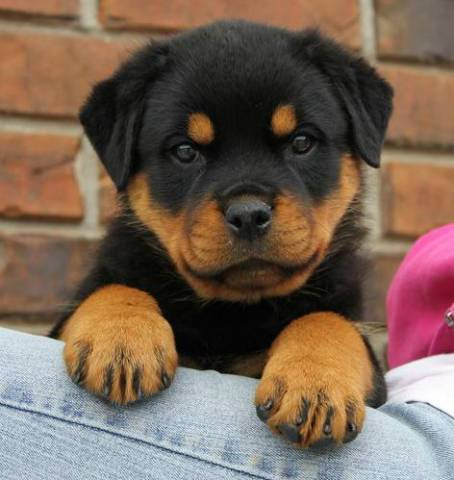 Good Rottweiler Puppies For Sale Florida City 32046 Hilliard