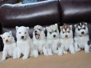 Charming Siberian Husky Puppies Looking For New Home