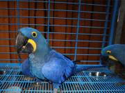 Hyacinth Macaw parrot birds for sale