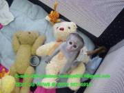 some Cute little Male And Female Baby Capuchin Monkey For Adoption