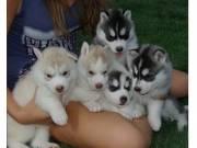 Beautiful siberian husky puppies text at 781-725-4897