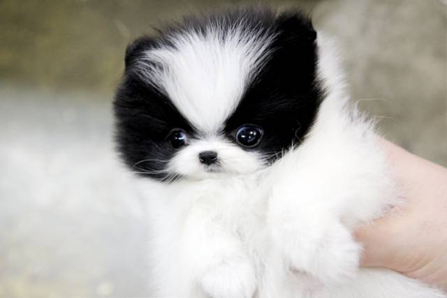Cute Akc Teacup Pomeranian Puppies Ready For Rehoming 832 937